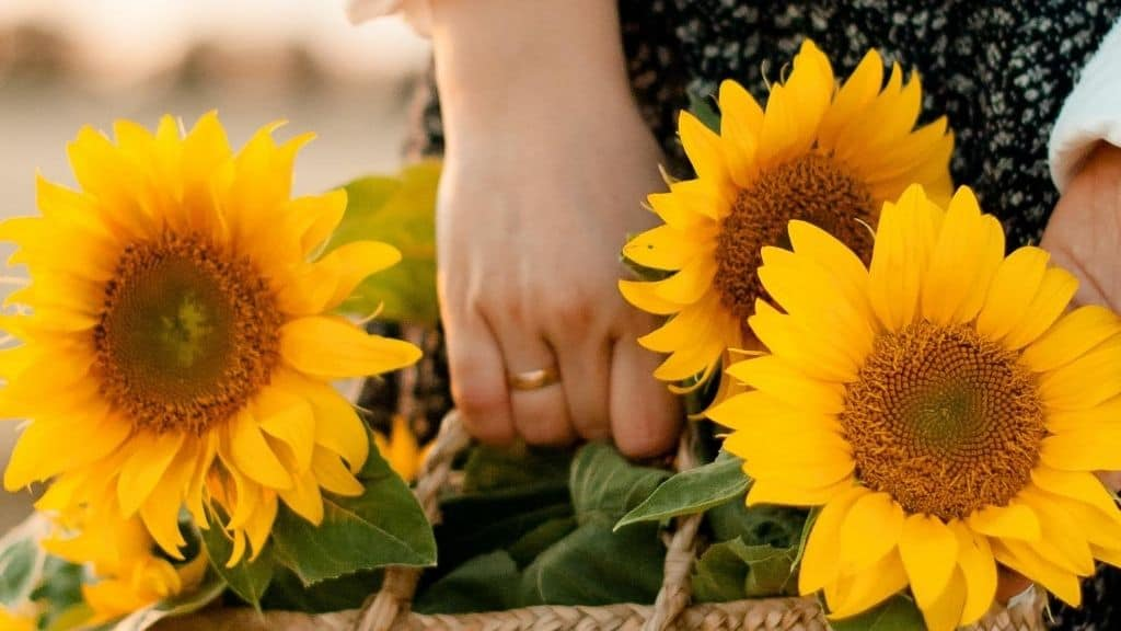hand with ring picking sunflowers in handbasket